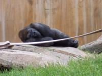 Lonely Gorilla who was left outside for getting in a fight